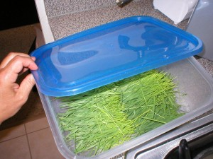 Storing-harvested-wheatgrass