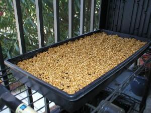 WheatGrass-Seeds-Ready-to-Grow