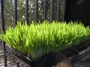 day-five-of-wheatgrass-growth-cycle