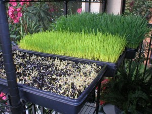 wheatgrass growth stages of growing