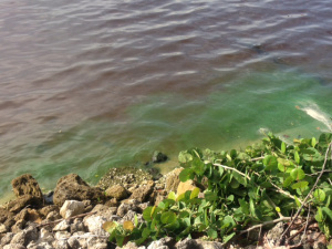 St. Lucie River Green Algae